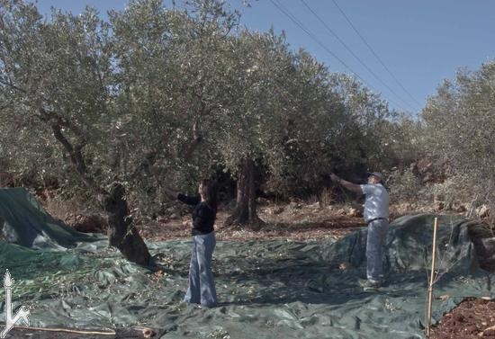Сбор маслин – מסיק זיתים